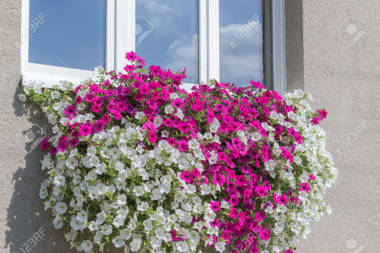Wall Mounted Hanging Basket Under Window With Trailing Vibrant
