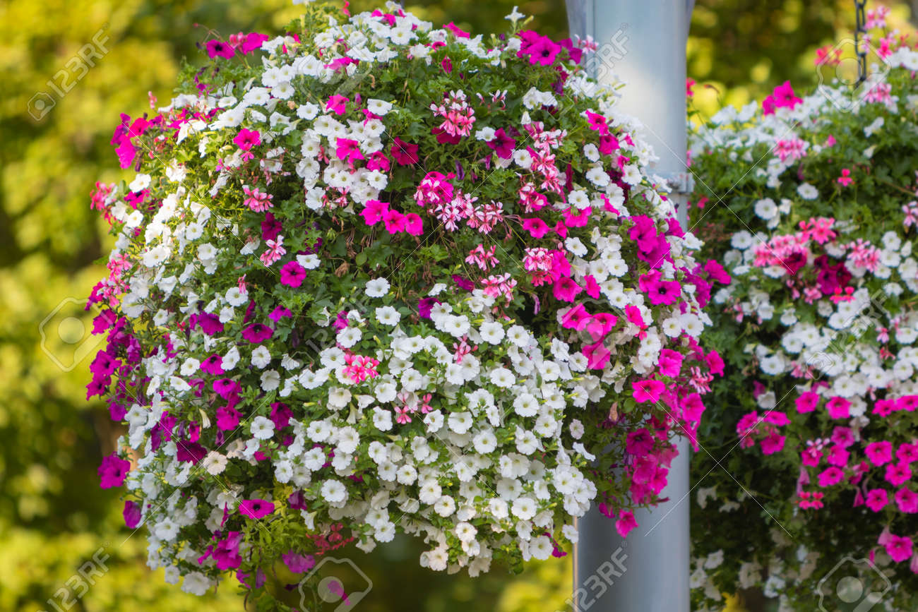 Deatil Of A Large And Beautiful Hanging Basket Pots With Blooming