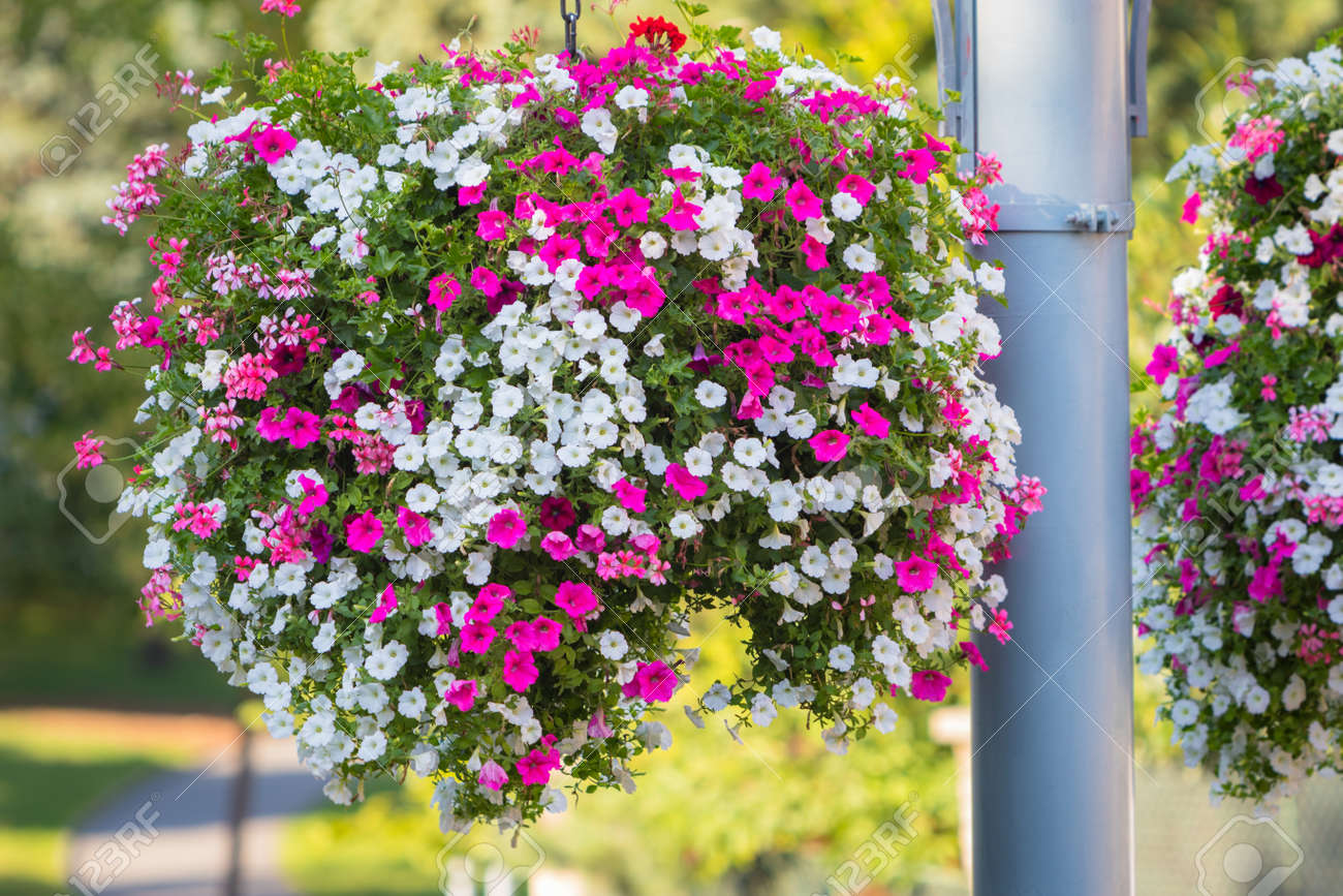 Large and beautiful hanging basket pots with blooming vibrant large and beautiful hanging basket pots with blooming vibrant pink and white petunia surfinia and mightylinksfo