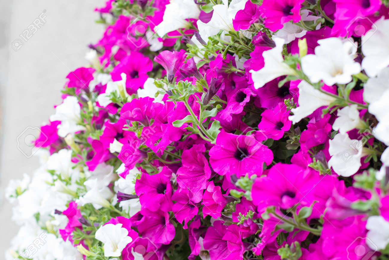 Detail Of Hanging Basket With Trailing White And Pink Surfinia