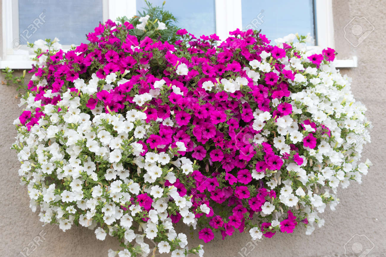 Wall Mounted Hanging Basket With Trailing Vibrant White And Pink