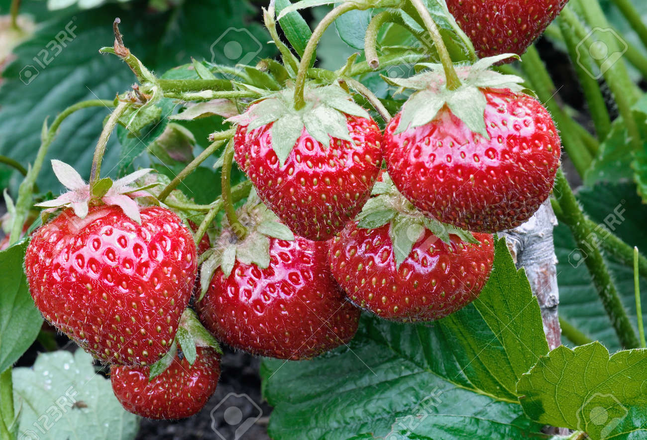 strawberry growing runners or daughter plants extend your