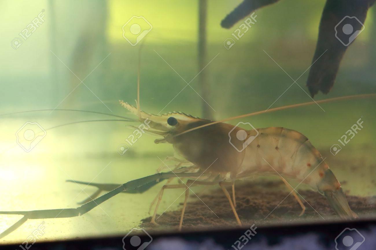 Black Tiger Fish In A Small Aquarium Stock Photo Picture And