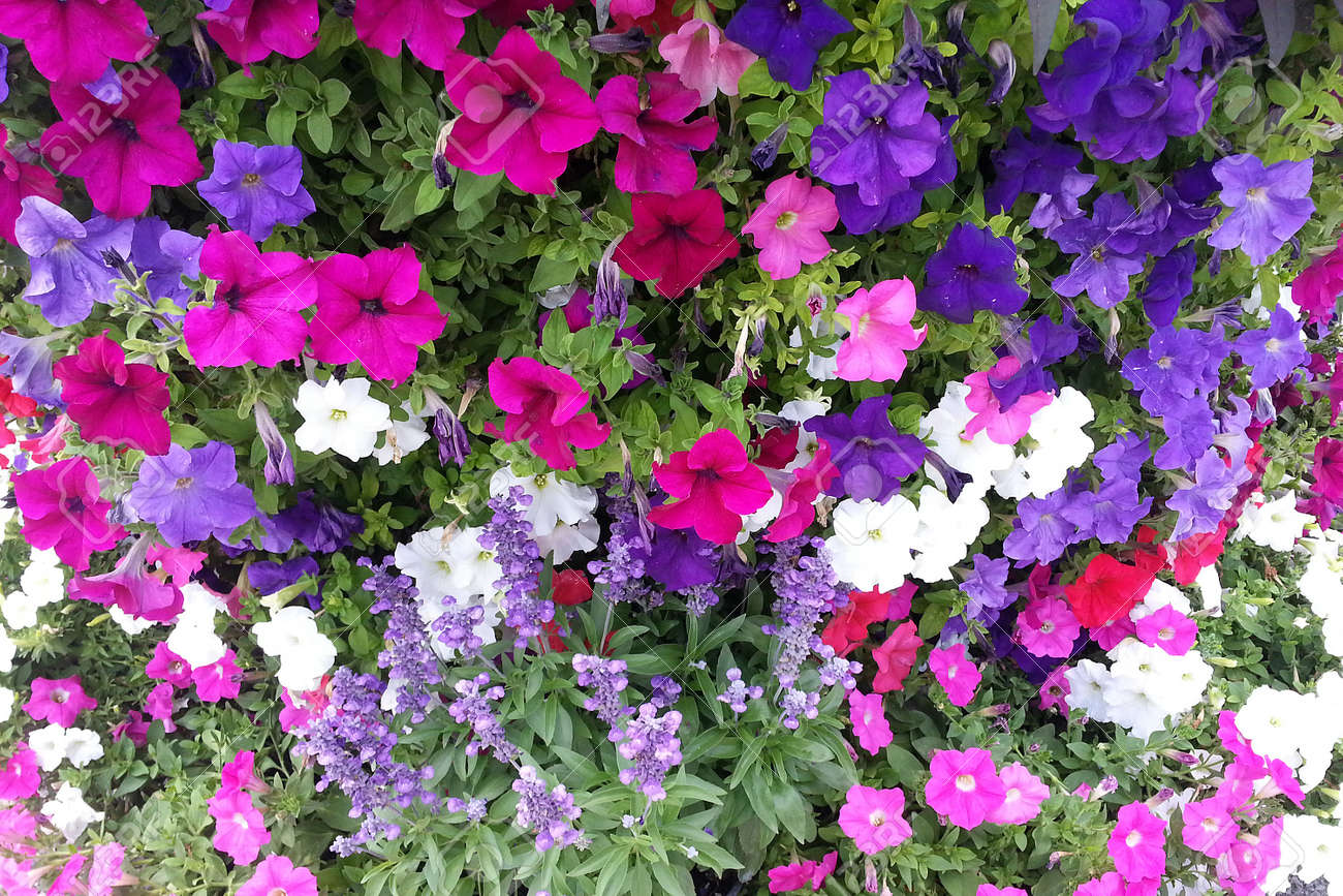 Colorful Easy Wave Petunia Flowers Stock Photo Picture And