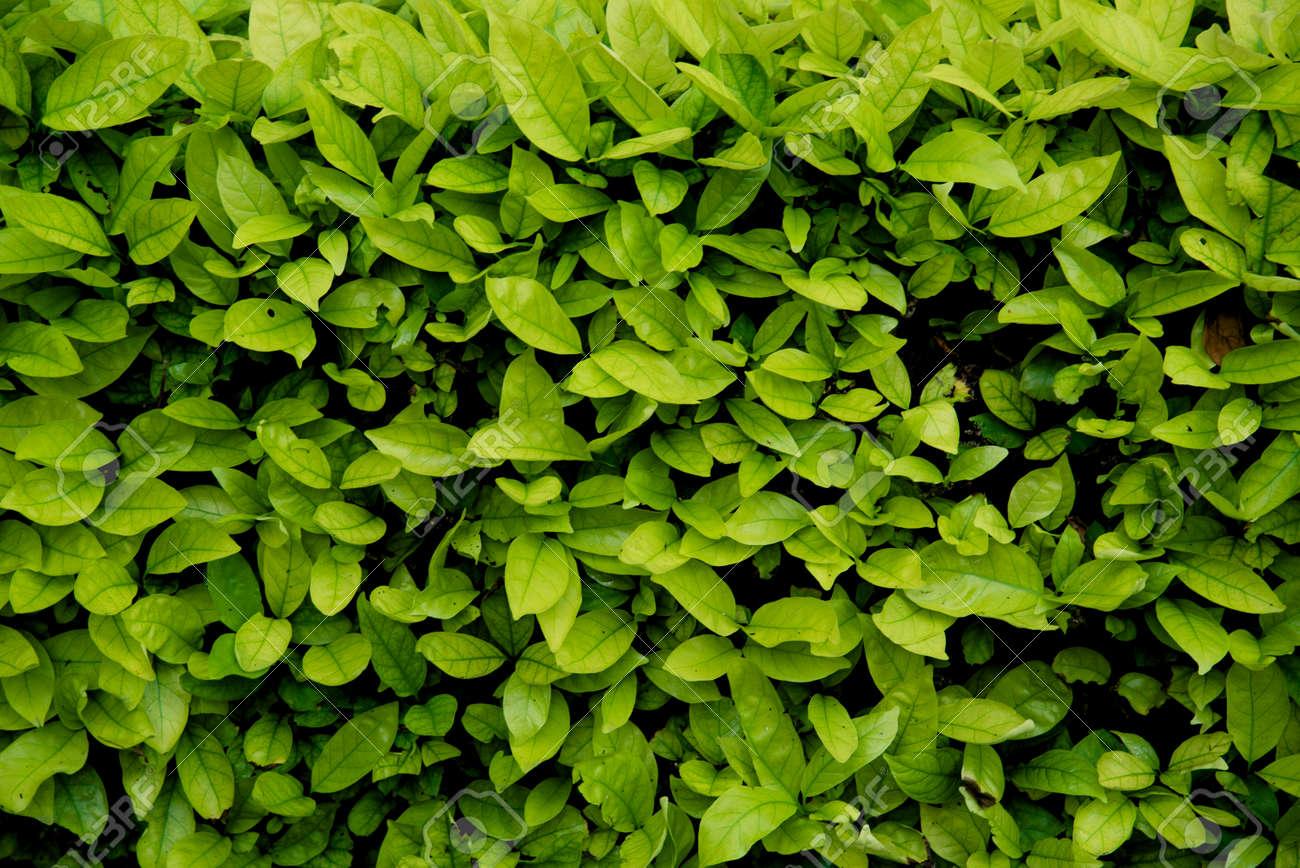Arbustos De La Pared De Fondo Verde Textura Natural Con El Hormigon - Arbustos-para-vallas