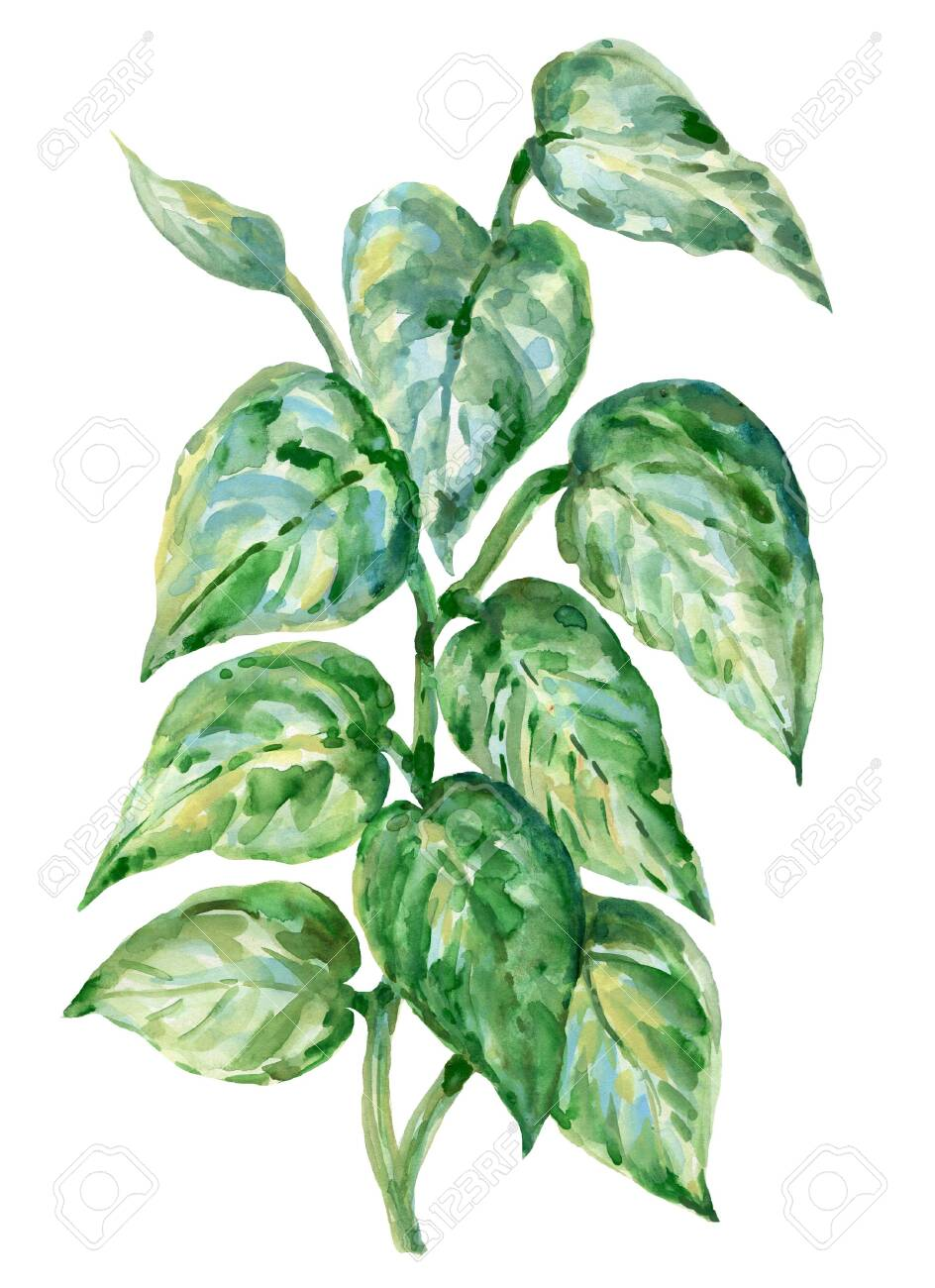 Watercolor Illustration Golden Pothos Botanical Leaves Collection Stock Photo Picture And Royalty Free Image Image 132548590