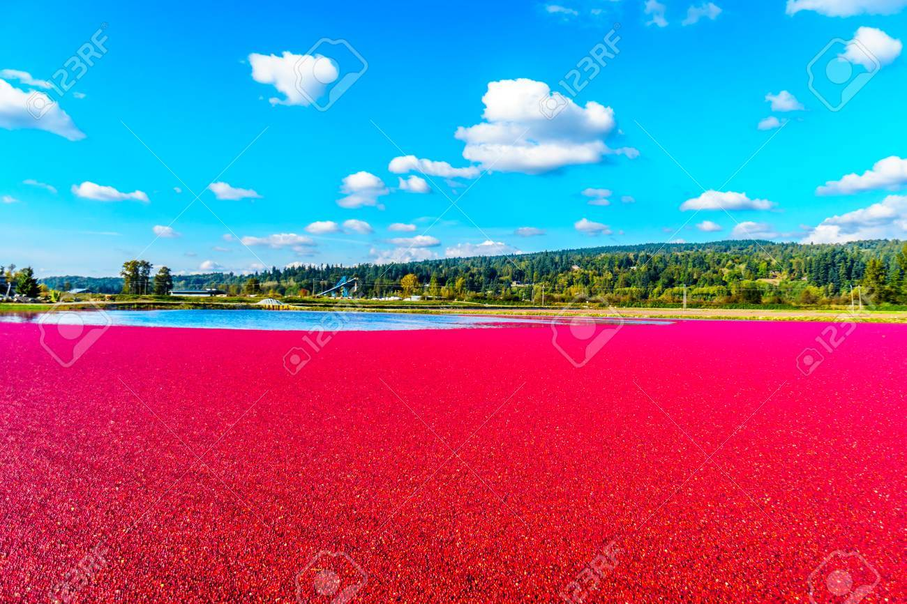Ripe Cranberries floating in the lagoon during harvest in the Glen Valley area of the Fraser Valley in Southern British Columbia, Canada under blue sk - 88139921