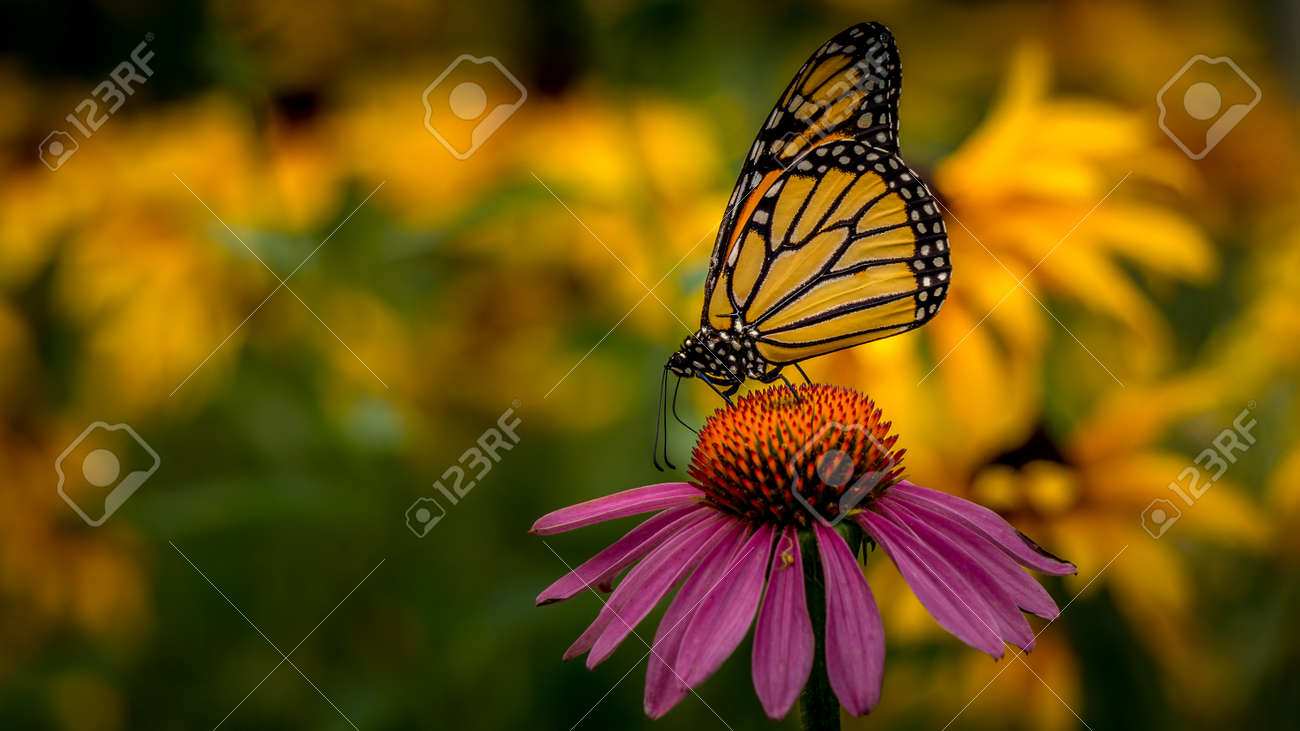 Monarch Butterfly on an Echinacea Purple Coneflower - 156120897