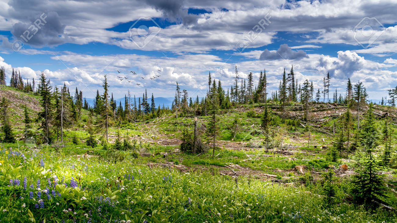 Industrial Clear Cut Logging in the Shuswap Highlands of British Columbia, Canada - 164114786