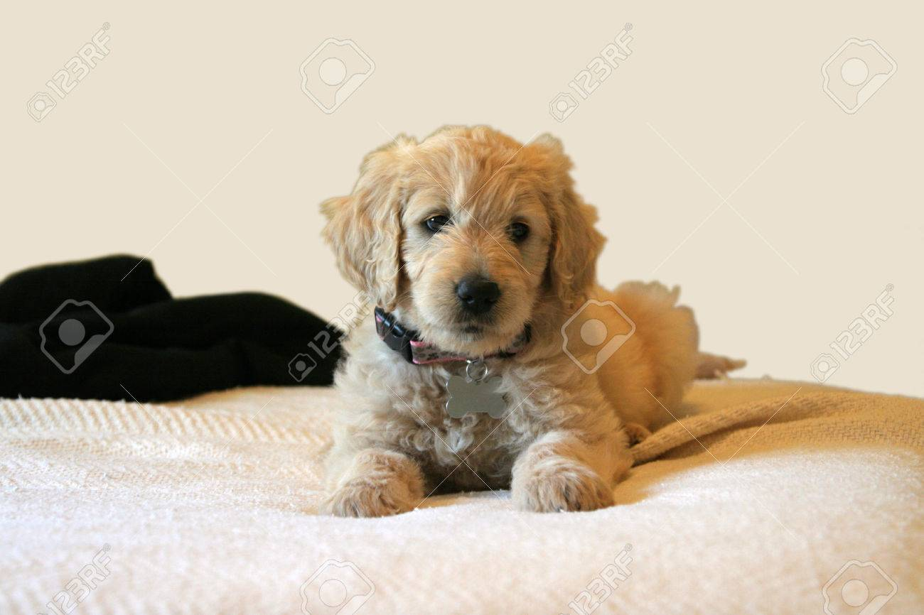 Cute Little Goldendoodle Puppy Laying On Her Daddys Bed