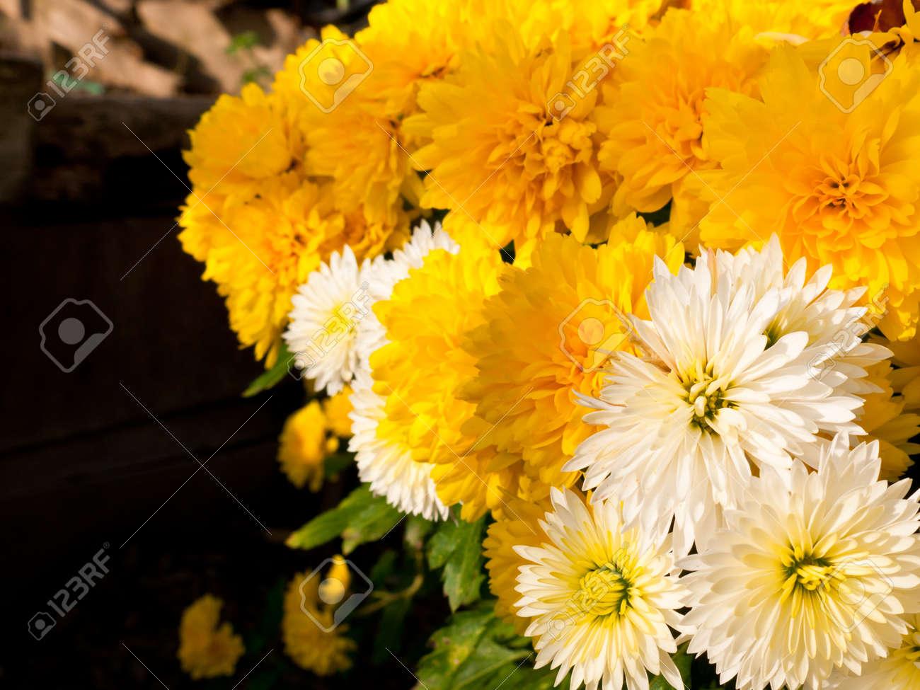 Beautiful Background Of Fresh White And Yellow Chrysanthemum Stock
