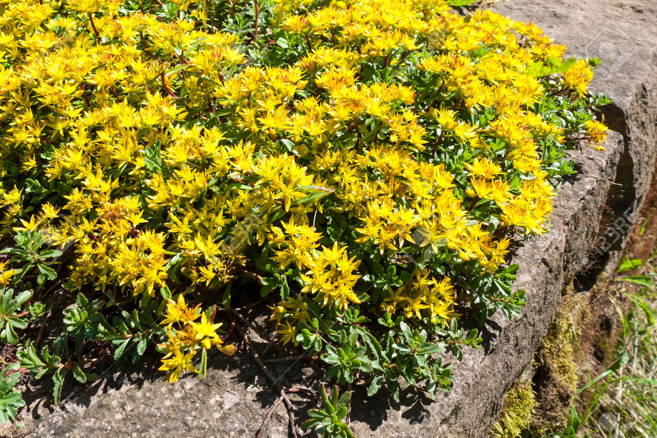 Early Spring Yellow Flowering Groundcover Plant Stonecrop Stock