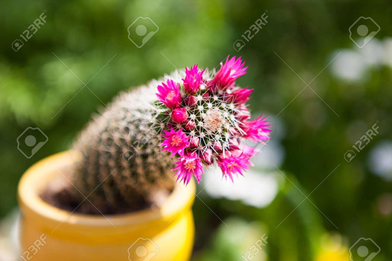 Beautiful Pink Flowering Cactus In The Yellow Pot At Green Natural