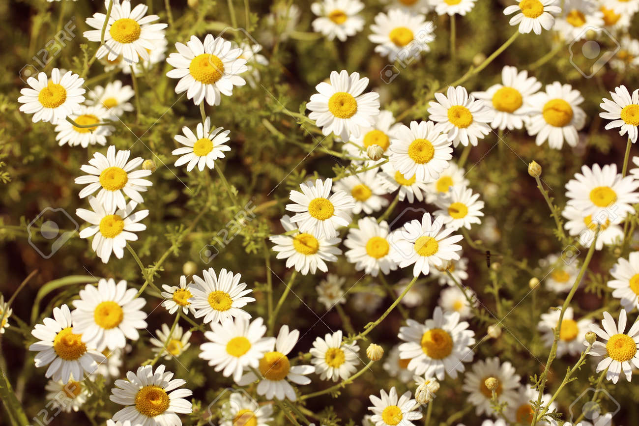 Field of daisy flowers stock photo picture and royalty free image field of daisy flowers stock photo 39365641 izmirmasajfo Image collections