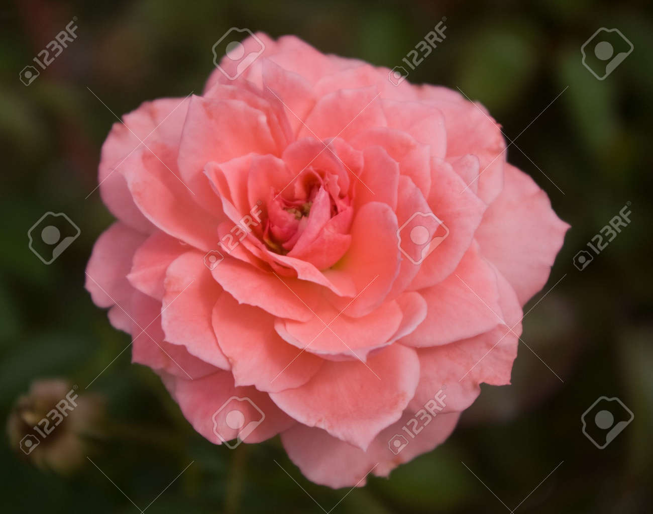 the hybrid tea rose passionate kisses stock photo picture and