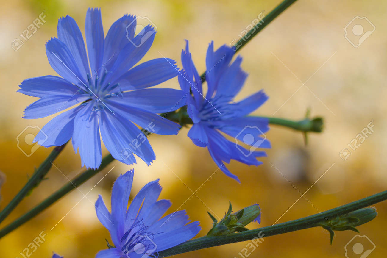 Blue Wild Flowers. Chicory Blooming Stock Photo, Picture And Royalty ...