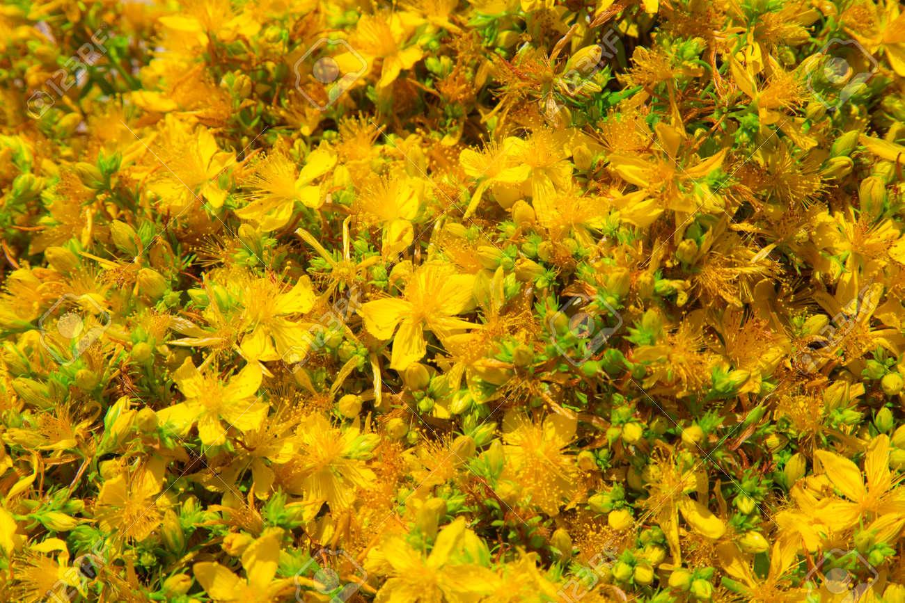 Fiori Gialli In Montagna.Yellow Blossom Of Fresh Wild Perforate St John S Wort Mountain