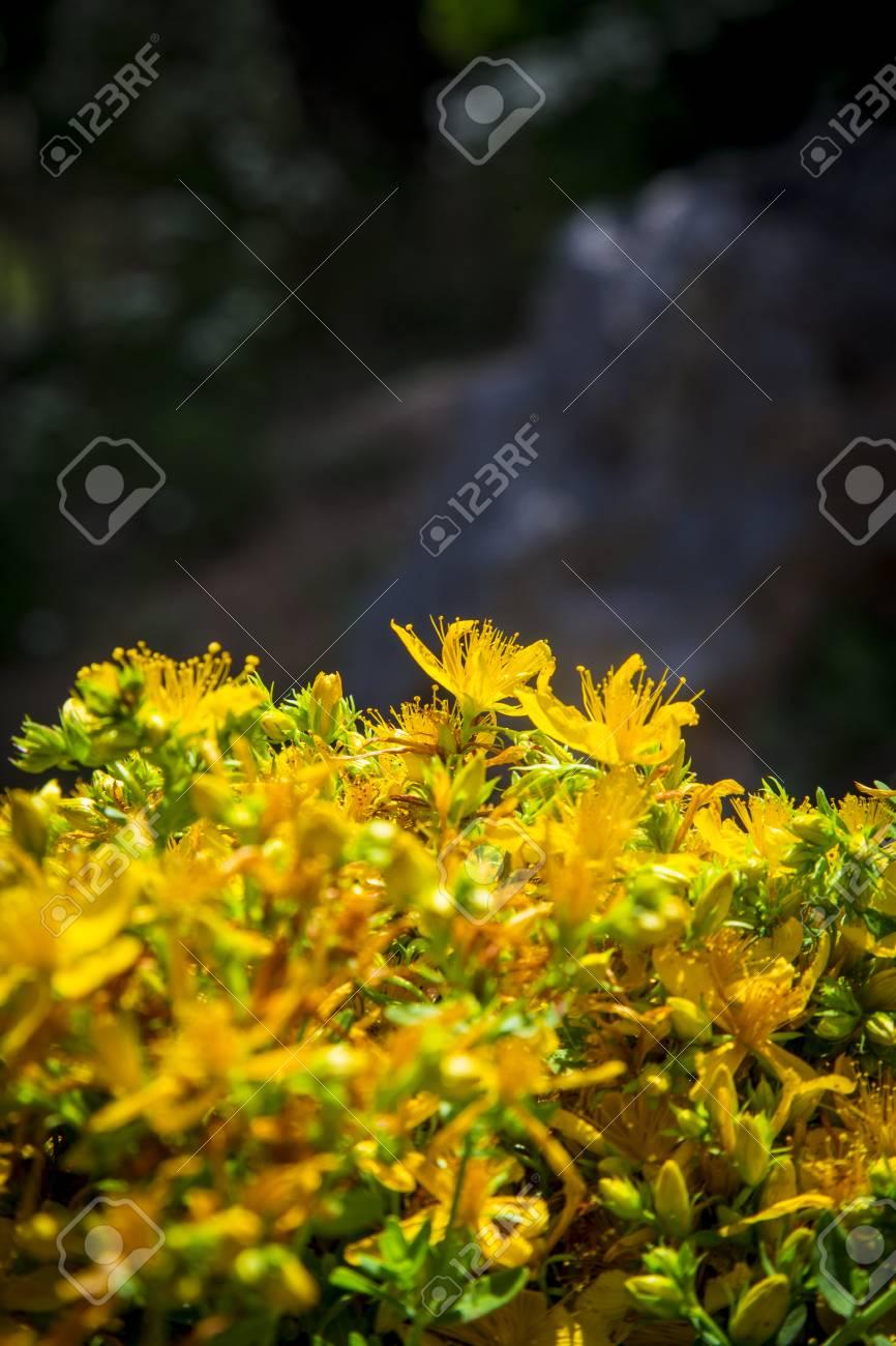Fiori Gialli Di Montagna.Immagini Stock Fiore Giallo Di Fresco Selvaggio Perforare Te Di