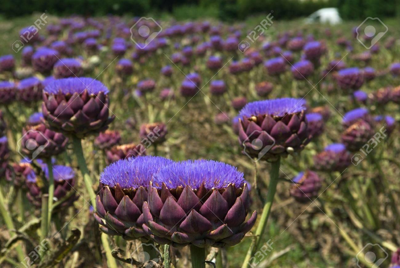 Field of bloomed artichokes - 4382496