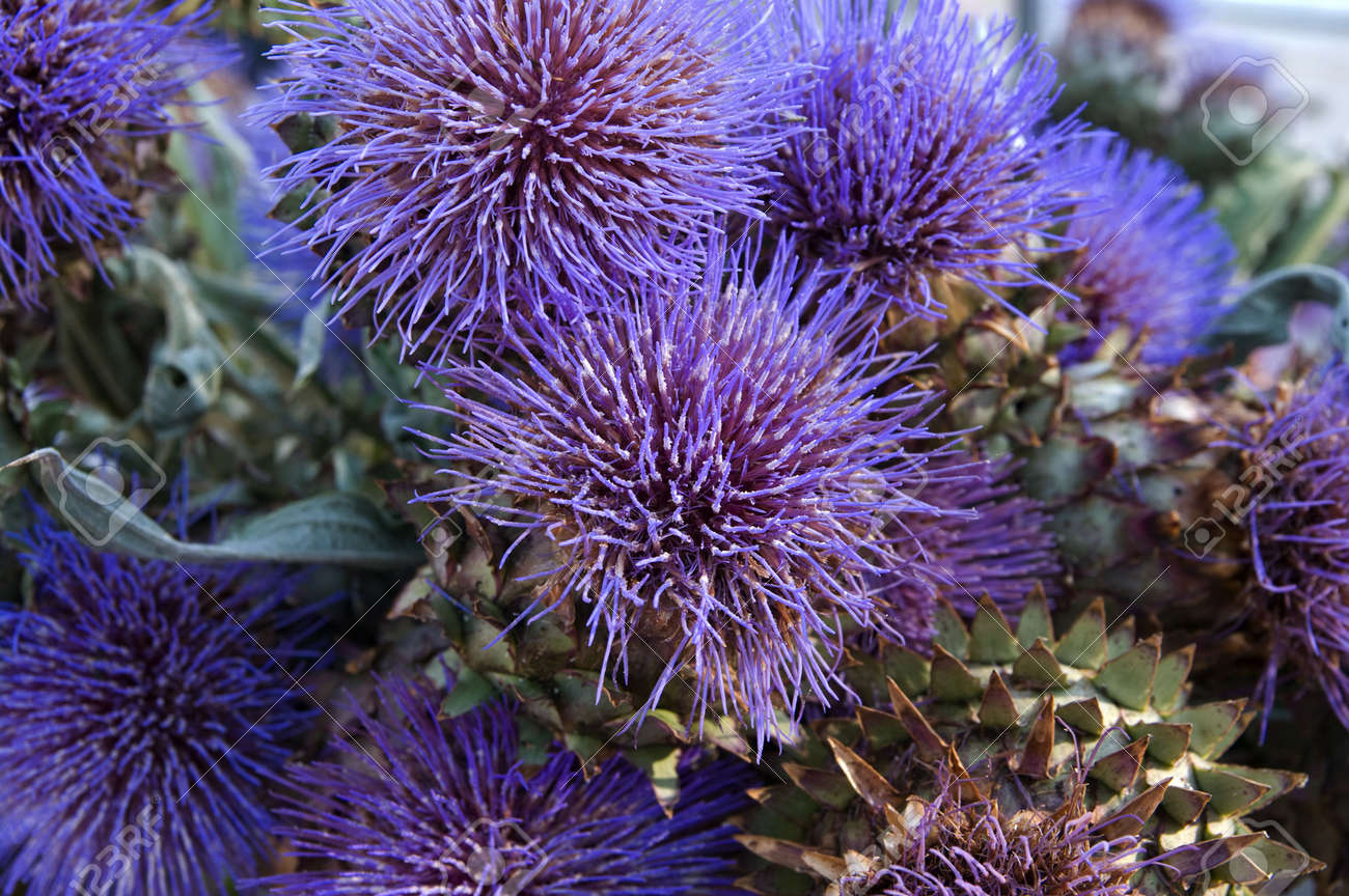 Colorful and bloomed artichoke flower - 5311072