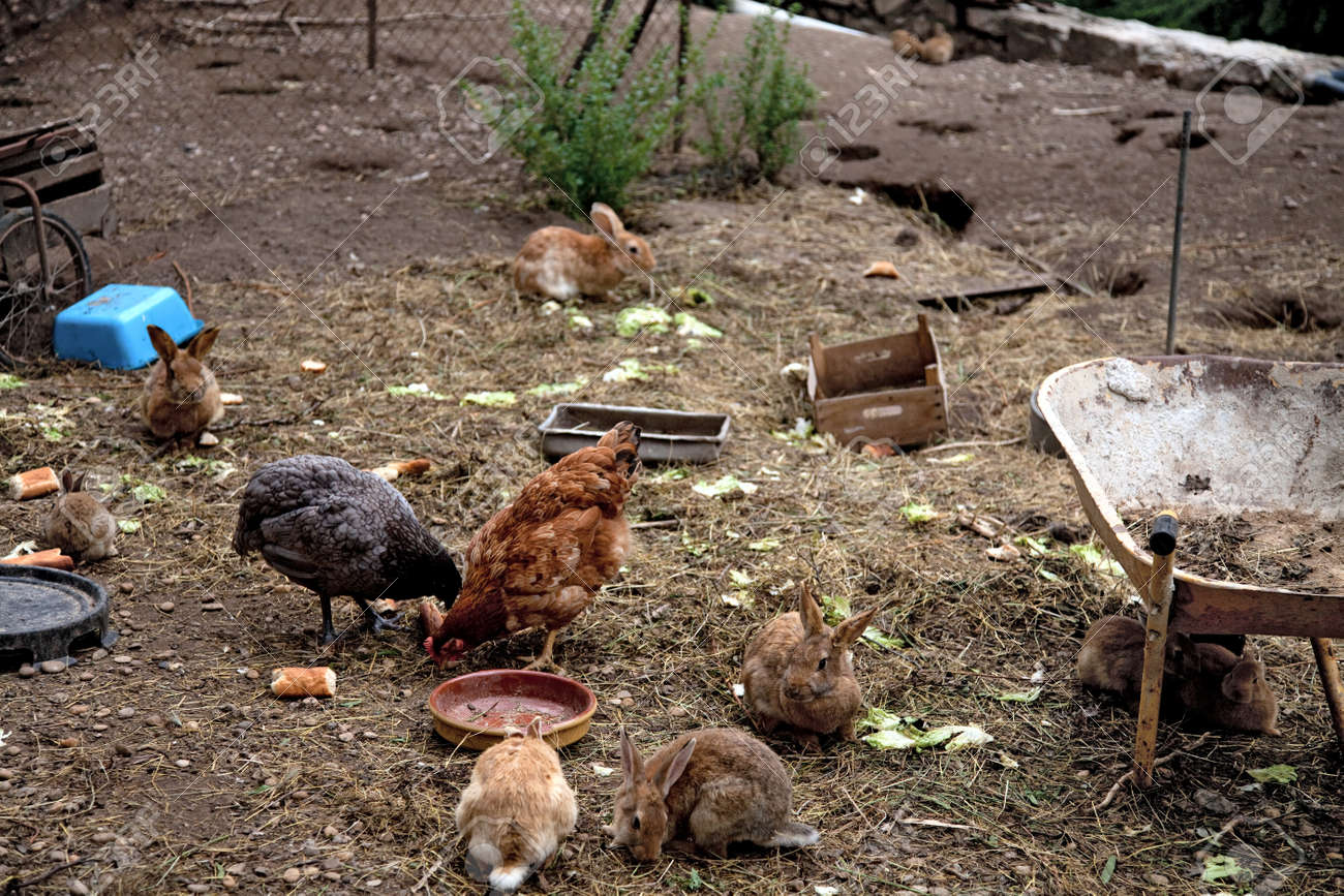 chicken and rabbits eating in a backyard farm stock photo picture