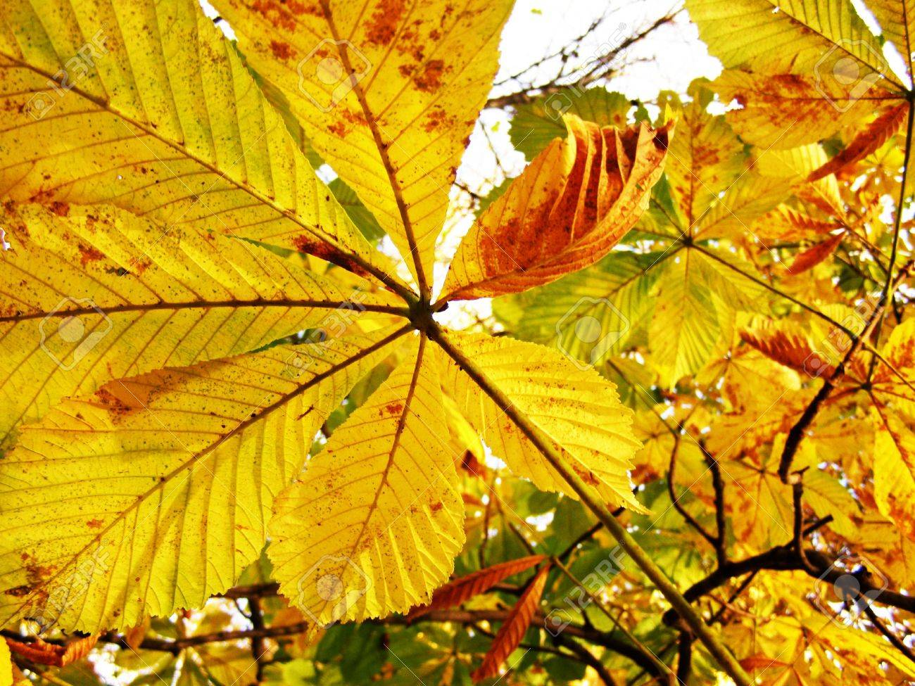 Yellow orange leaves of a chestnut Stock Photo - 5001845