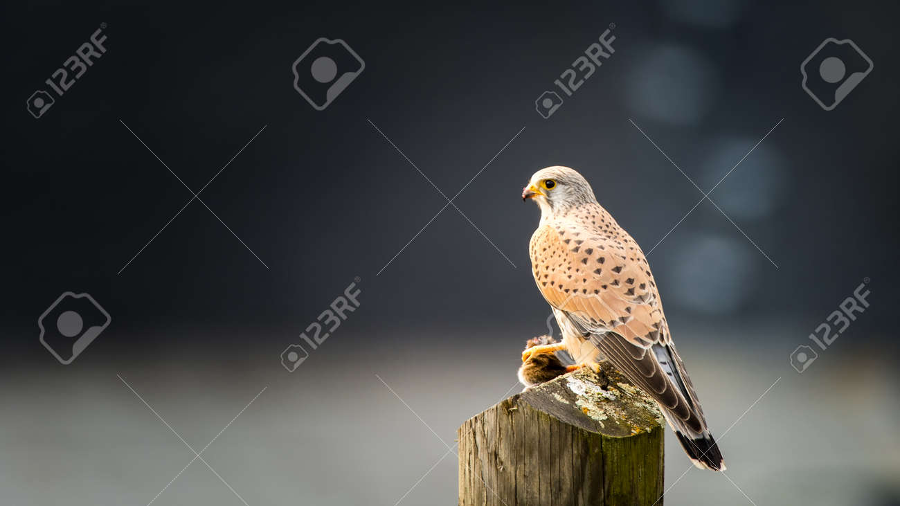 Common kestrel Falco tinnunculus, male, sitting with mouse on stake - 125611585