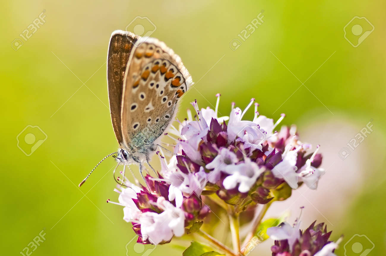 common blue,  Polyommatus icarus Stock Photo - 14438157