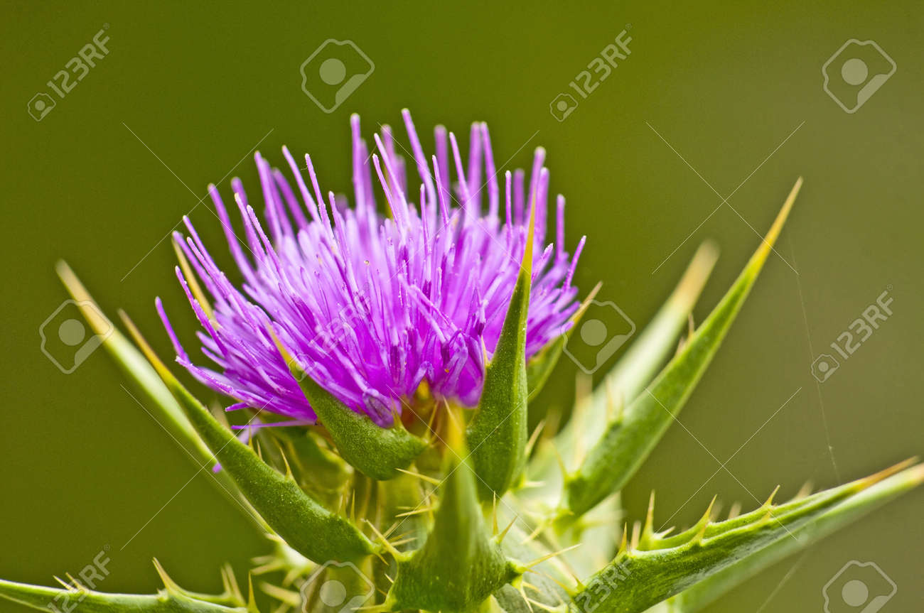 holy thistle - 14438176