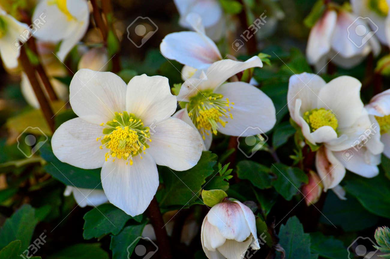 Christmas rose, Helleborus niger - 37462522