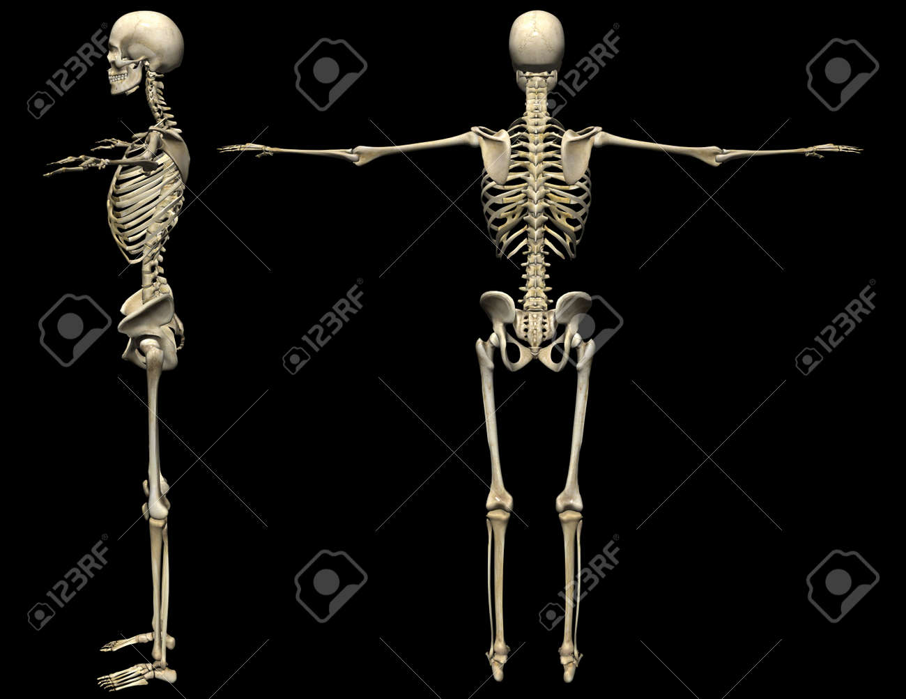 3d human skeleton medical illustration stock photo picture and