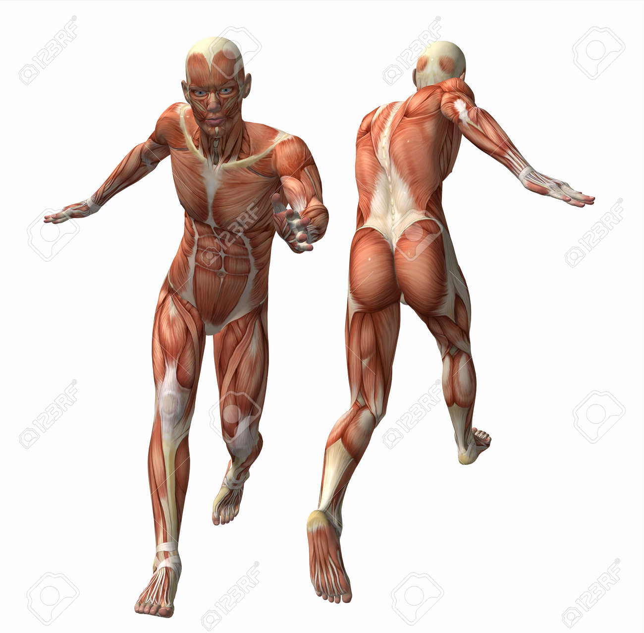 3d muscle model stock photo, picture and royalty free image. image, Muscles