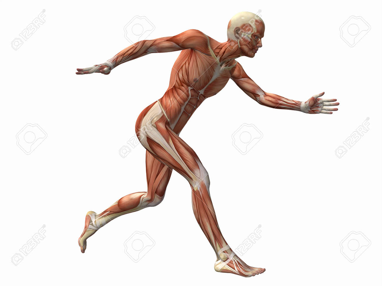 Muscle Man , Male Body Anatomy Stock Photo, Picture And Royalty Free ...