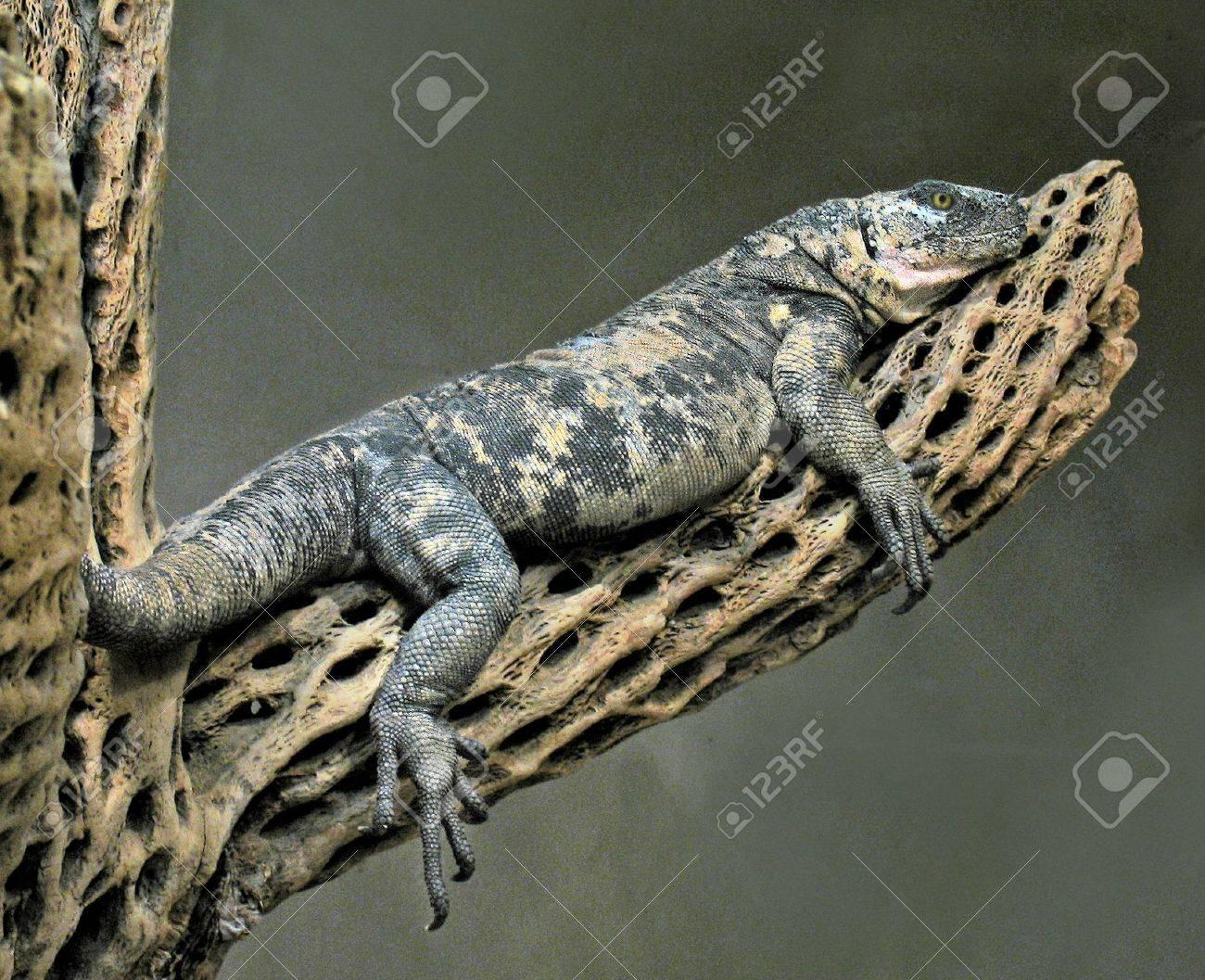 lizard Stock Photo - 936257