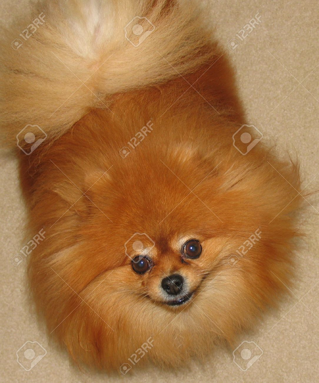 A Cute Adult Female Pomeranian Dog Stock Photo Picture And Royalty