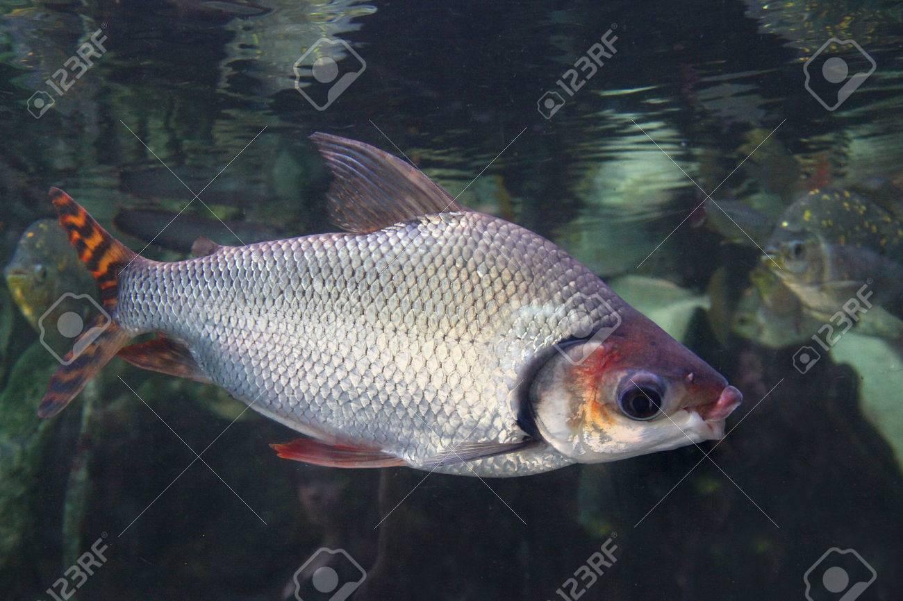素敵なユゴイ科魚 - Semaprochil...