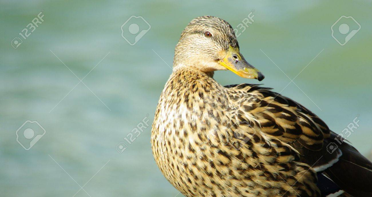 duck girl Stock Photo - 3236636