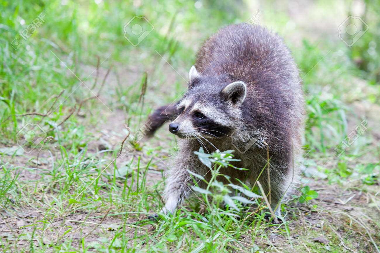 portrait of a racoon in a nature scene stock photo picture and
