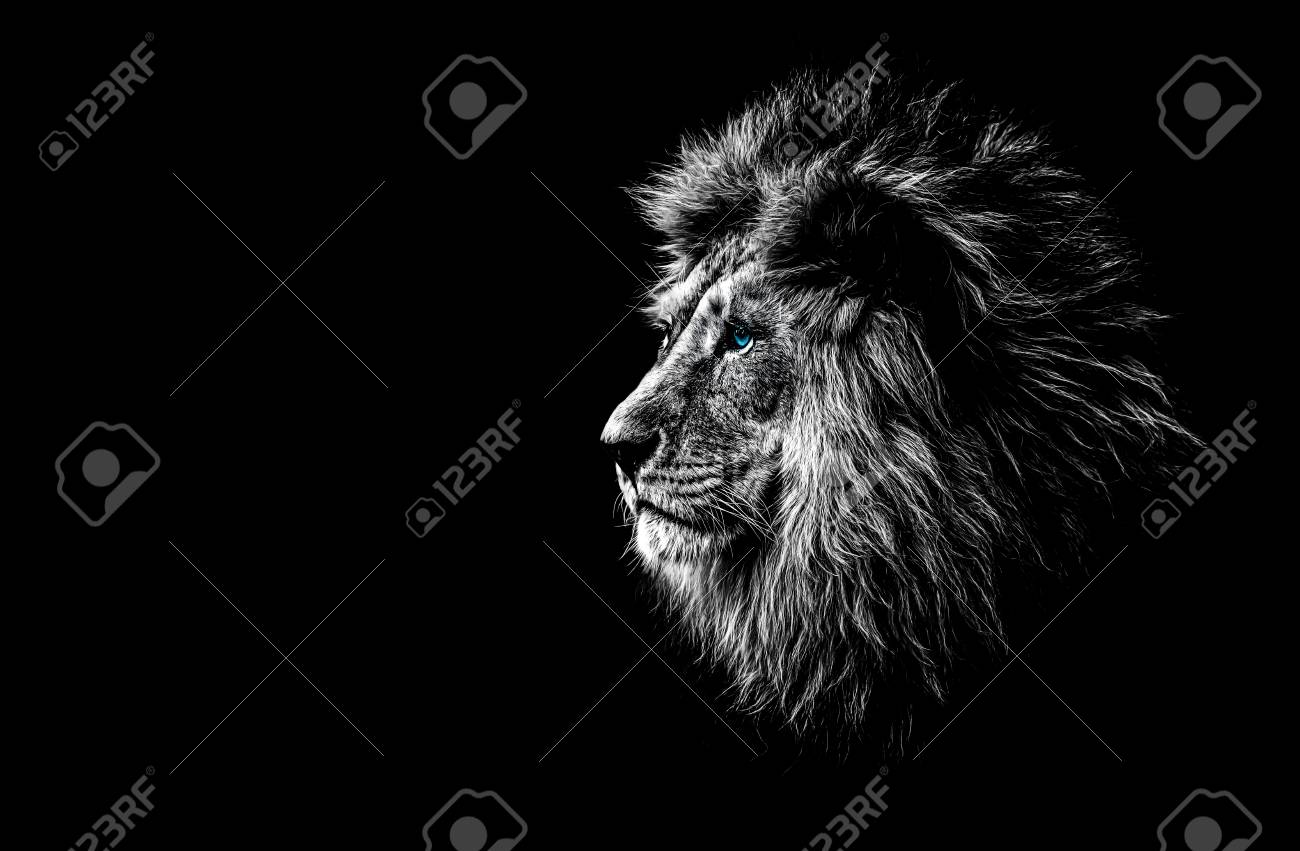 Lion in black and white with blue eyes stock photo 92130014