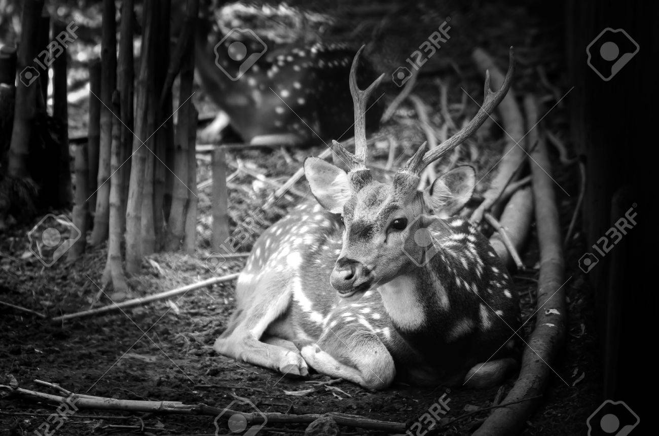 Deer in nature black and white photo