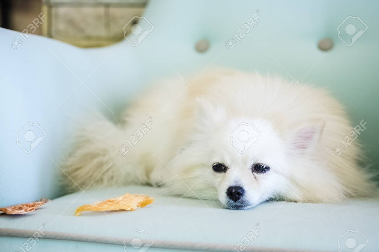 Cute White Fluffy Pomeranian Dog Stock Photo Picture And Royalty