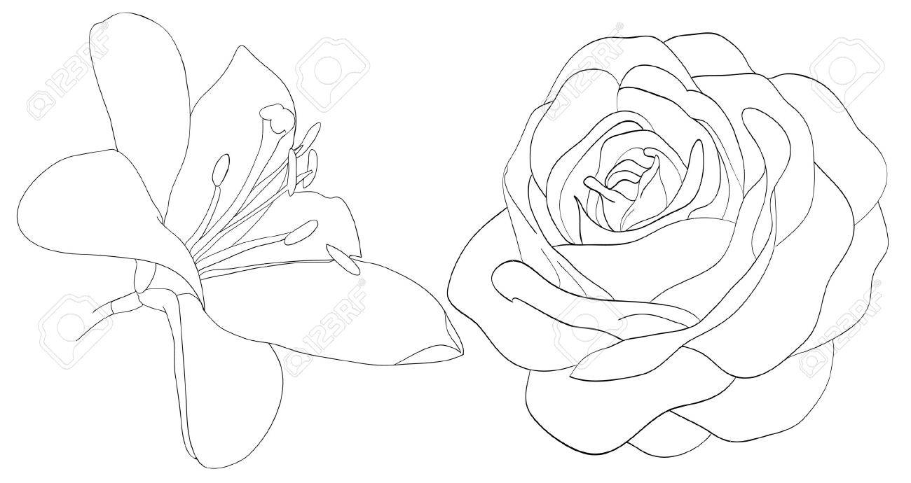 set of shape roses and lilies isolated on white. Many similarities to the author's profile - 18120351