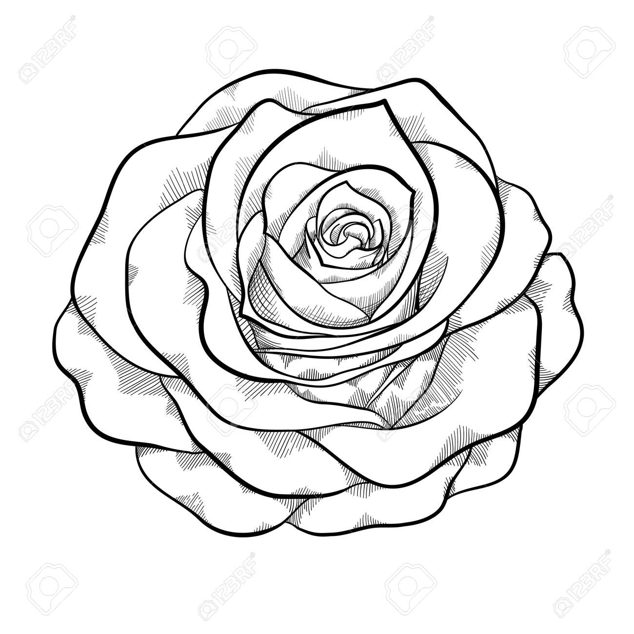 Beautiful monochrome black and white rose isolated on white background hand drawn contour lines