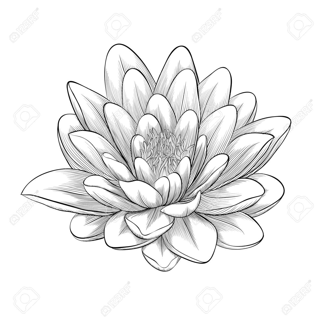 Belle Monochrome En Noir Et Blanc Fleur De Lotus Peint En Style Graphique Isolé Sur Fond Blanc