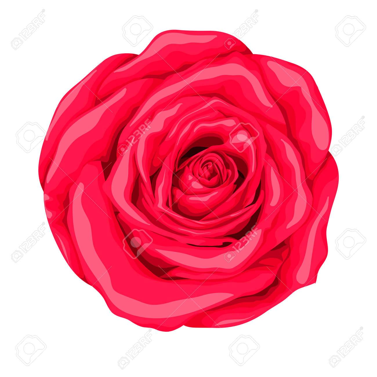Belle Rose Rouge Avec L Effet D Un Dessin à L Aquarelle Isolé Sur Fond Blanc