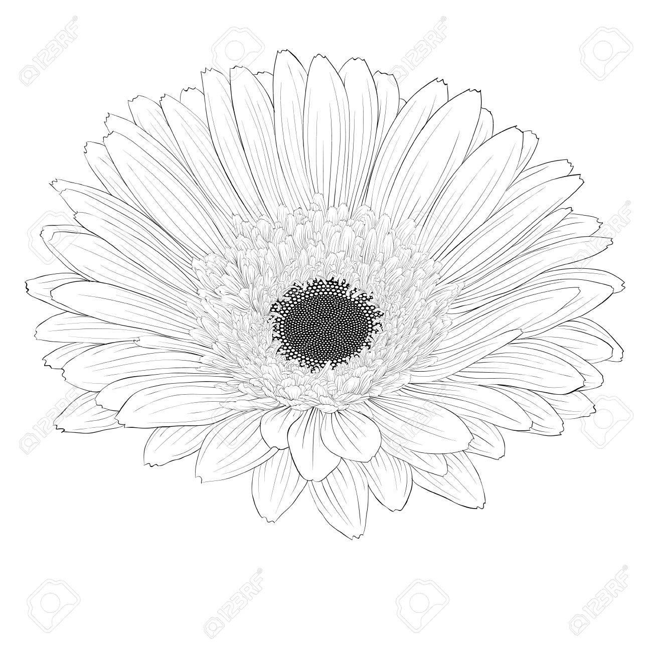 Beautiful monochrome black and white gerbera flower isolated beautiful monochrome black and white gerbera flower isolated hand drawn contour lines and mightylinksfo