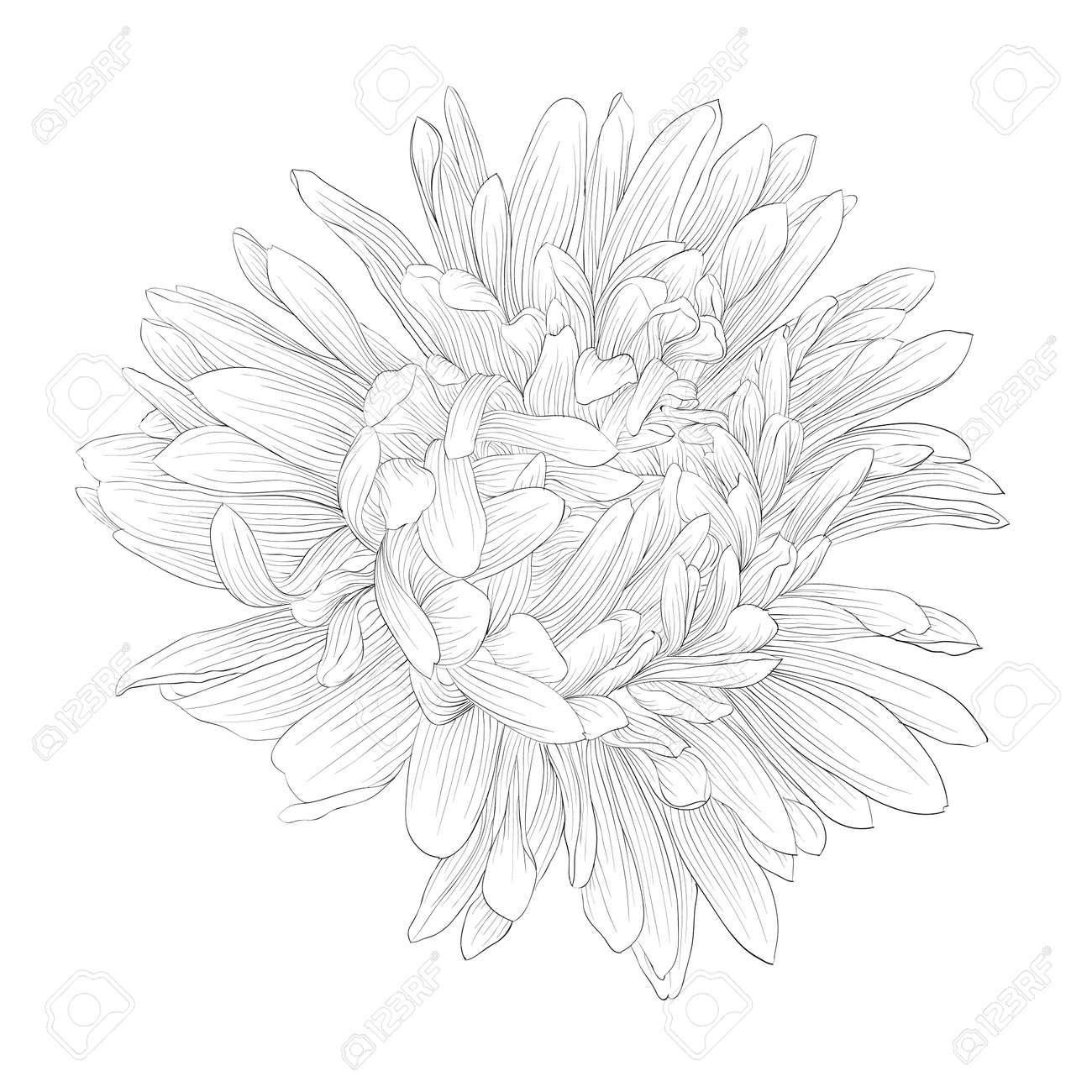 beautiful monochrome, black and white aster flower isolated, Beautiful flower