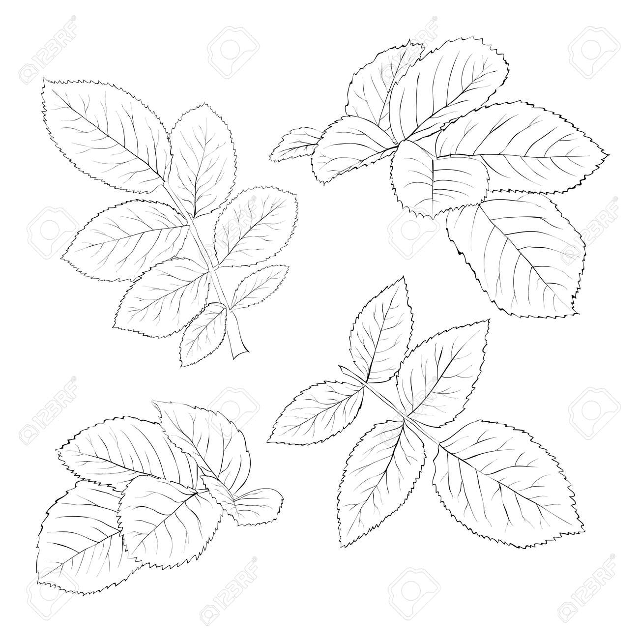 set of beautiful black and white rose leaves isolated on white. Hand-drawn contour lines and strokes. - 30147717