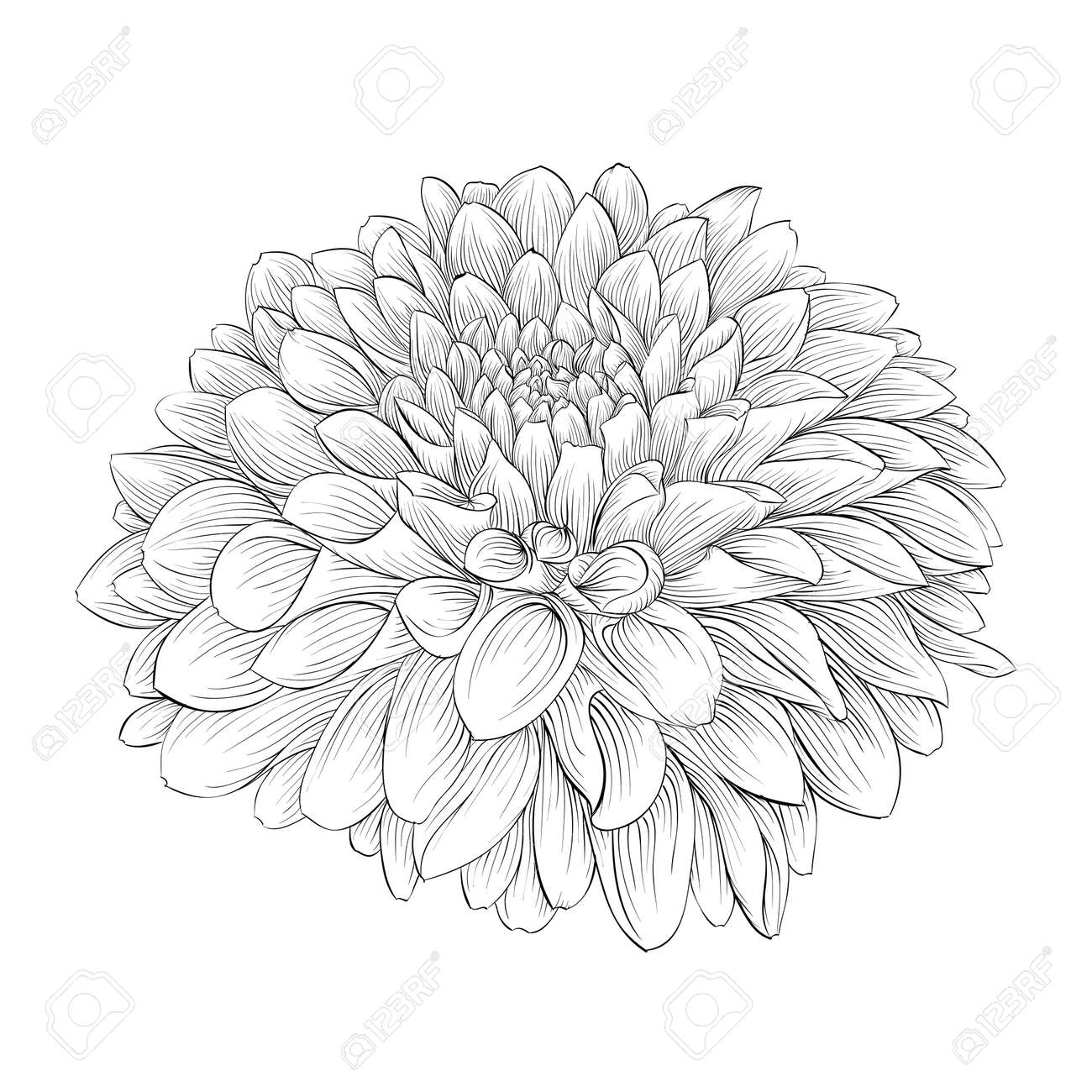 Beautiful Monochrome Black And White Dahlia Flower Isolated On
