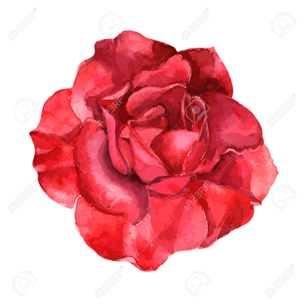 Watercolor Rose Stock Photos. Royalty Free Watercolor Rose Images